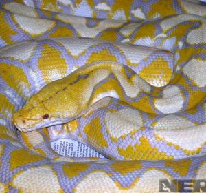 Lavender Albino Reticulated Python for sale