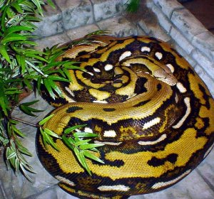 Longest Reticulated Python