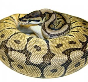 Mojave Spider Ball Pythons