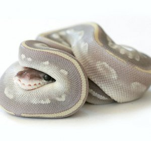 Mystic Ball Pythons for sale