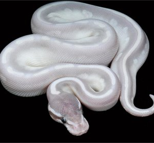 Phantom Ball Pythons