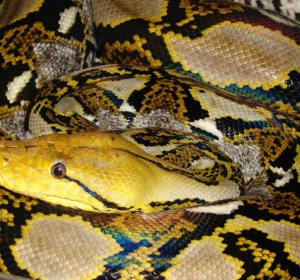 Reticulated Python morphs