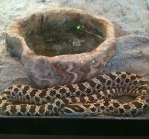 Should I get a Ball Python