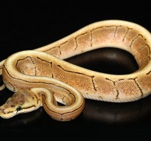 Spinner Ball Python for sale