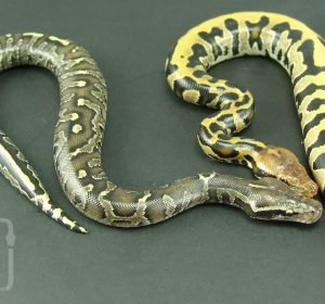 Super Ball Python for sale
