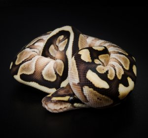 Types of Ball Pythons