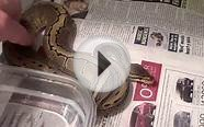 (1) HOW TO - Set up Tank and Handle Ball Python