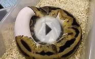 2011 Pied Het Axanthic Ball Python Male FOR SALE
