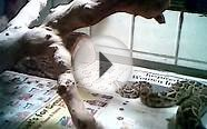 3 Month Old Burmese Python Eating An Adult Rat