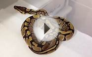 2012 Vanilla Ball Pythons *For Sale*