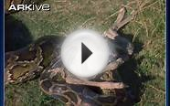 African rock python catching and swallowing antelope