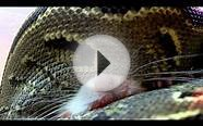 African Rock Python & HUGE Jumbo RAT