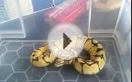 Angry bumblebee ball python cb10 reduced pattern
