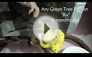Aru Green Tree Python Eating