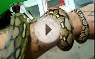 baby female tiger reticulated python
