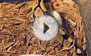 Baby Fire Ball Python Feeding!