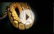 Ball Python - Black Flame Bee (Het White Diamond) - Male