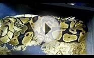 Ball python breeding season in full swing! Can you say