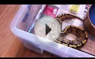 Ball python collection 18/08/2012