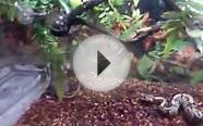ball python feeding on small rat