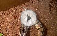 "Ball Python ""Jack"" Feeding on a Small Rat"