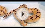 BALL PYTHON /KILLER BEE HET DESERT GHOST &BUMBLE BEE