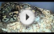 Ball Python Morphs Update and Feeding