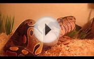 Ball Python swallows small rat