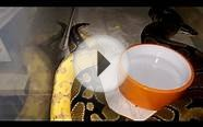 Banana ball python locking/unlocking with banded normal