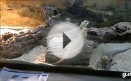 bearded dragonas eating wax worms and big female ball python