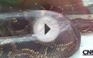 Big Burmese Python in 1080P HD - by John D. Villarreal