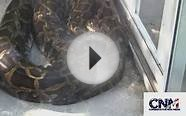 Big Burmese Python Snake on the Ground Near Me - 1080P HD