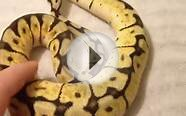 Bumble Bee ball python!