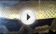 Burmese Python Breeding (Spurring)