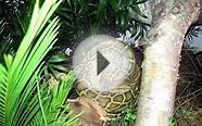 Burmese python eating rat