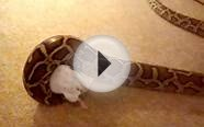 Burmese python tempted by food