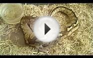 Butter Pastel ball python eating