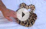 Desert ghost morph ball python video