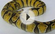Enchi ball python .dutchreptiles.nl.wmv