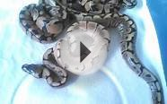 Enchi x Spider ball python clutch