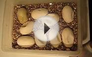 Fertile vs. infertile half dwarf burmese python eggs