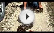 Giant Burmese python measuring 18ft could be the biggest
