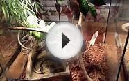 Green tree python and amazon tree boa live feeding