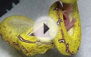 Green Tree Python Feeding
