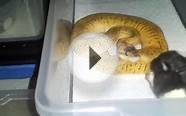 How I Feed Baby Ball Pythons Frozen Thawed Rats