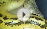 Ivory blood and Ivory ball pythons which do u like