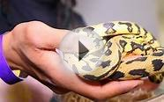 Jaguar Carpet Python Set Up [PLEASE SUBSCRIBE]