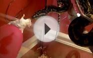 Jungle Carpet Python (JCP) Attacking Mice & Rat