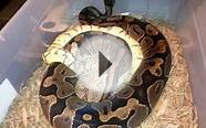 Killer Bee ball python