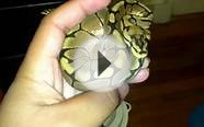 Light eyed normal ball python , albino and spider